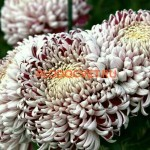 НОВИНКА Хризантема крупноцветковая Gilbert Leigh Silver Гилберт лигт Сильвер