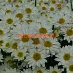 Хризантема веточная Бакарди белая.