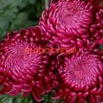 антема крупноцветковая Gilbert Leigh Purple Гилберт л. Пурпл