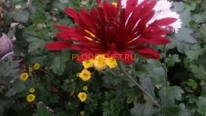 Хризантема корейская Калиновый гай