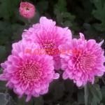 Хризантема корейская Камелия