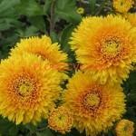 Хризантема корейская Копикет еллоу
