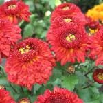 Хризантема корейская Красная шапочка