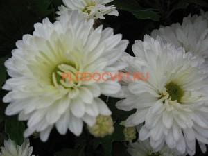 Хризантема корейская Метелица