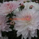 Хризантема корейская Мираж