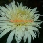 Хризантема корейская Нежность