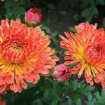 Хризантема корейская Осеннее рандеву красное