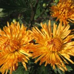 Хризантема корейская Осеннее рандеву желтое