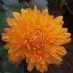 Хризантема корейская Осенний калейдоскоп