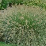 Пенисетум Pennisetum