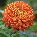 Chrysanthemum Perfekshen Хризантема Перфекшен