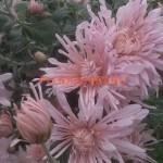 Хризантема корейская Перлынка