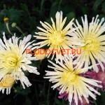 Хризантема Перлынка белая. 55/12см. Сентябрь