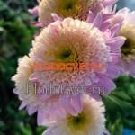Хризантема корейская Валенсия