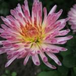 Хризантема корейская Попелюшка