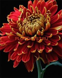Chrysanthemum Регалия