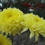 Хризантема корейская Рибон
