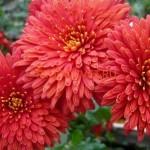 Хризантема корейская Шапка-мономаха