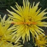 Хризантема корейская Секой