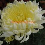 Хризантема корейская Селена