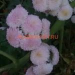 Хризантема корейская Славяночка