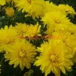 Хризантема корейская Сяйво