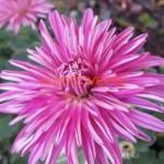 Хризантема корейская Цветочная-поляна