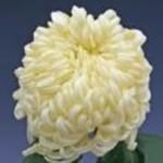 Хризантема крупноцветковая Виена Лайм