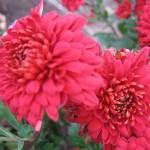 Хризантема корейская Витчизна
