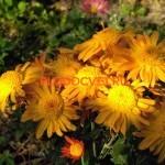 Хризантема Злата. Высота 40-50см. Диаметр цветка 7см. Август.