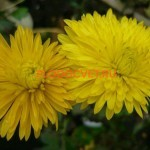 Хризантема корейская Золота пидкова