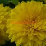 Хризантема корейская Золотоволоска