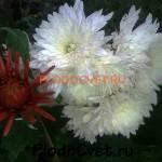 Корейская хризантема Белая-ночь
