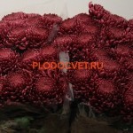 chrysanthemum 'Bigoudi Purple'. Хризантема крупноцветковая Бигуди