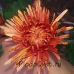 Хризантема корейская Дывына