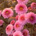 Хризантема корейская дюймовочка