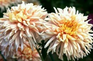Хризантема крупноцветковая Авигнон пинк.