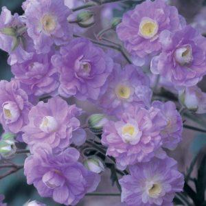 Герань луговая (Geranium pratense) Саммер Скай