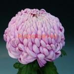 Хризантема Виена роз