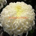 ХризантемаВиена Белая