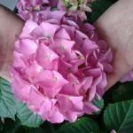 Гортензия крупнолистовая Букет Роуз