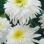 Нивяник ромашка садовая наибольший (ромашка садовая) Фиона Гогхилл.