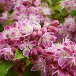 Дейция фиолетово розовая с белой каймой