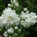 ЖАСМИН садовый Миннесота Сноуфлейк.
