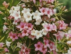 Вейгела цветущая Сьюзен.