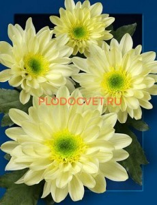 Хризантема Зембла Крем.