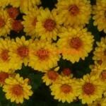 Хризантема мультифлора (шаровидная ) chryzantemum