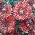 Хризантема мультифлора (шаровидная )
