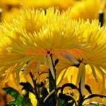 Хризантема индийская Анастасия желтая.
