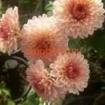 Хризантема корейская ,Каприз